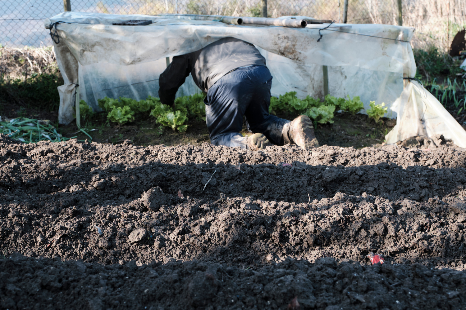 A man wearing rubber boots on his knees searching in a greenhouse full of lettuce.