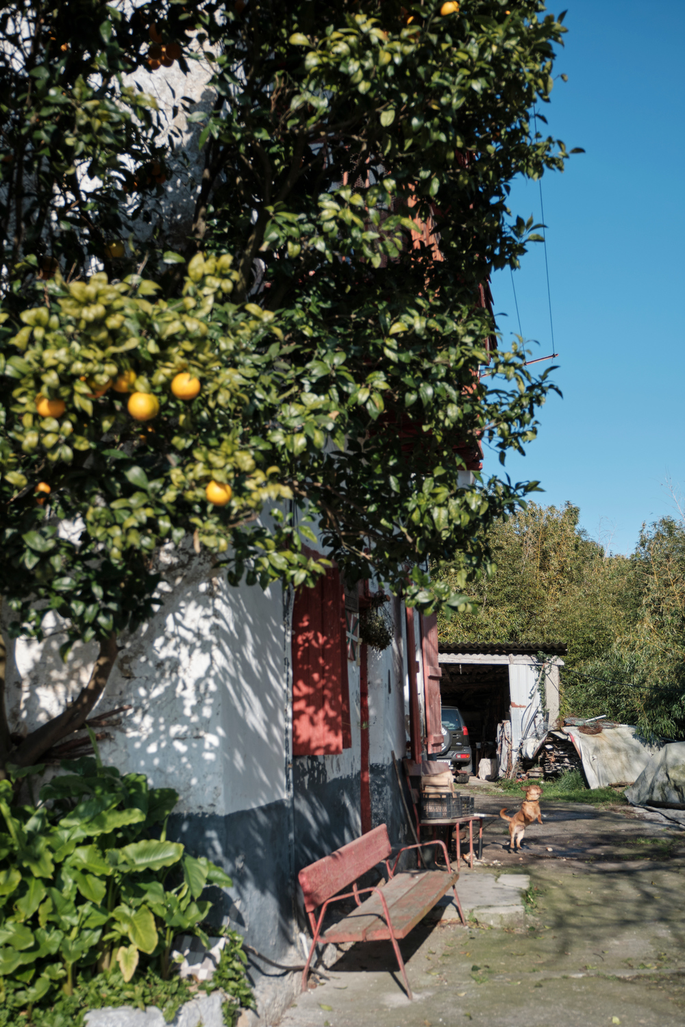 An orange tree next to a house with a tied up dog, a seat and a parked car.