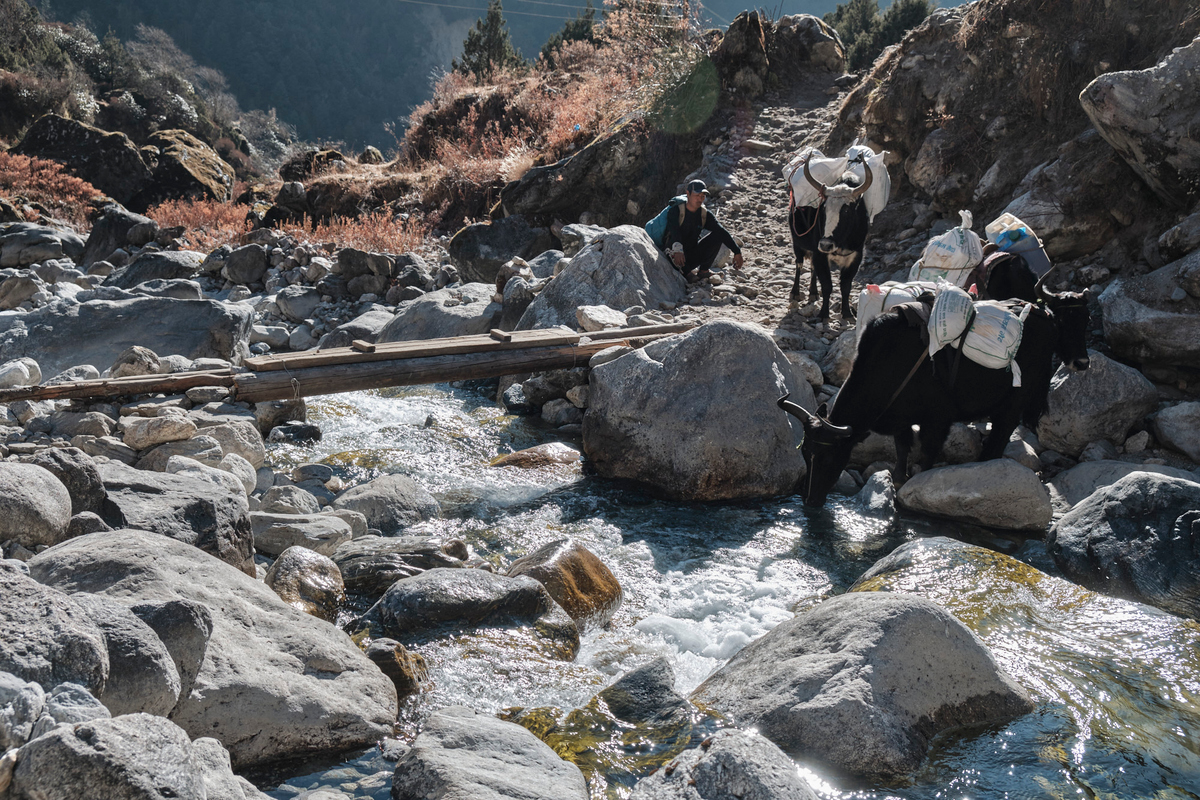 A man with three yaks carrying loads crossing a river.