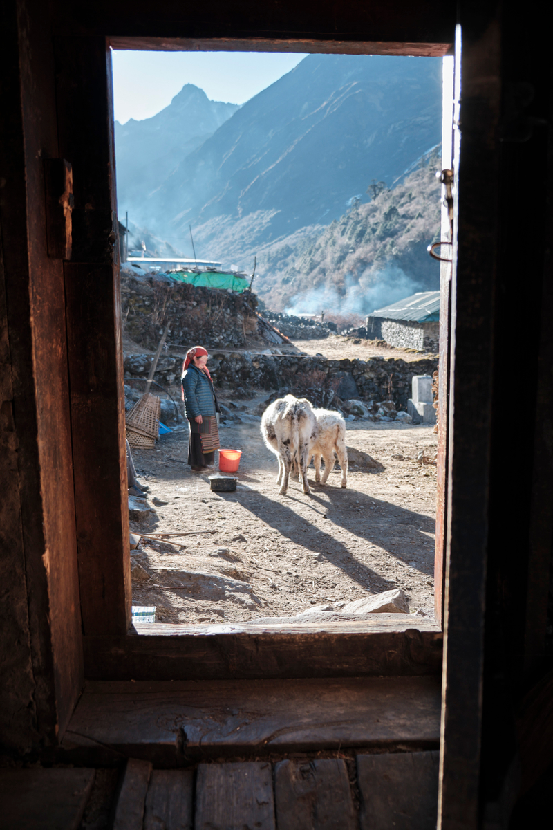 A woman standing in front of two yaks in a rural area.